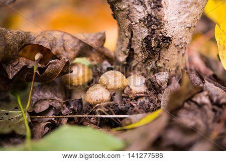 Honey agaric mushrooms .nature, object, orange, organic