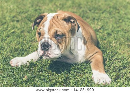 Little Puppy Of English Bulldog