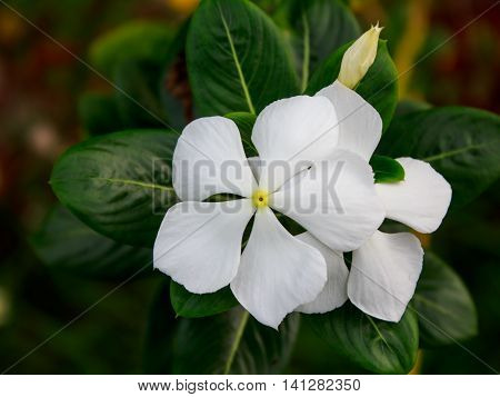 Vinca flowers with green leaf for background