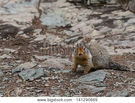 Ground Squirrel with Copy Space to Left