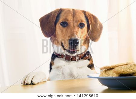 Beagle Puppy And Sweet Cookies
