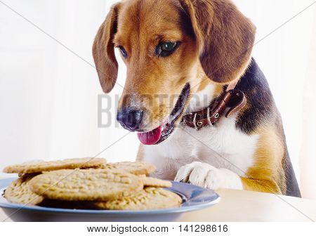 Beagle Puppy And Cookies On A Table