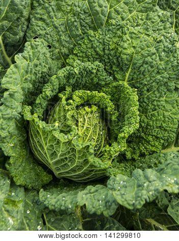 Savoy cabbage grown in a local community garden.