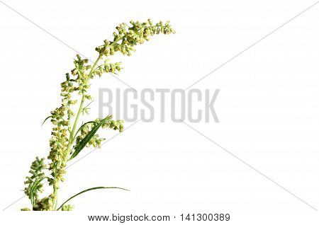 Wormwood plant over whitr background close up