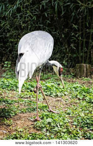 White stork - Ciconia ciconia in outdoors scene. Bird watching. Animal theme. Vertical composition.