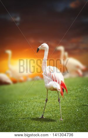 Large Flock Of Pink Flamingos.