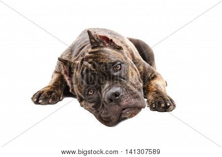Portrait of a cute dog Cane Corso isolated on white background