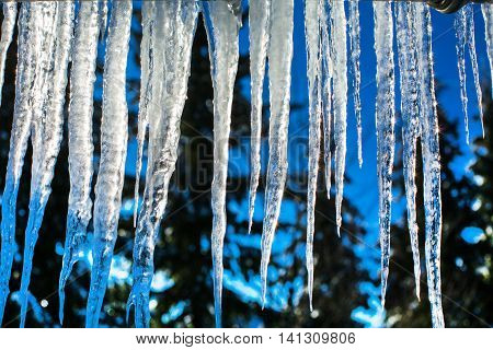 Winter or spring background of bright transparent icicles in the sunlight, pine trees on the background