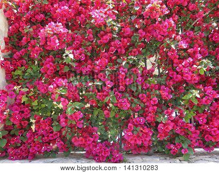 A closeup of Bougainvillea flowers growing in a Mediterranean garden