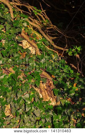 Hedera canariensis. Beautiful and rich nature of the Crimea.