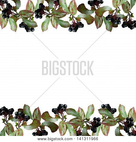 Beautiful autumn background isolated berries of Aronia