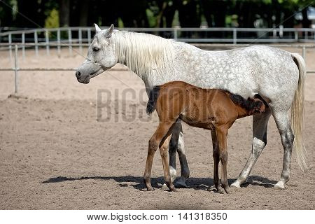 Mare with foal in the meadow in the wild