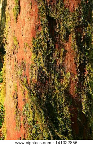 a picture of an exterior Pacific Northwest yew tree trunk with moss