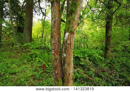 a picture of an exterior Pacific Northwest forest with a Yew tree