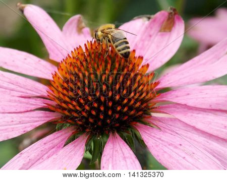 Photo detail of light pink flowers with sitting bee