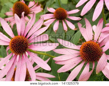 Photo detail of light pink flowers with green in background