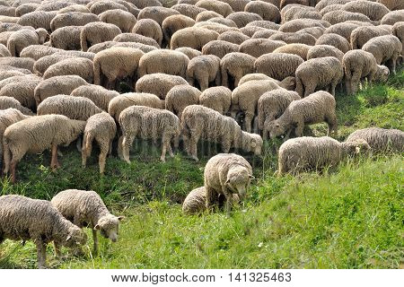 flock of sheep in greenery grass in french Alps