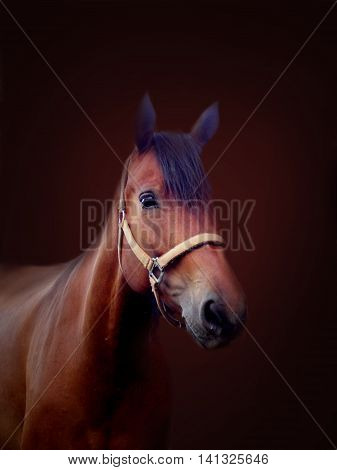 Beautiful portrait of head of brown horse on dark brown background