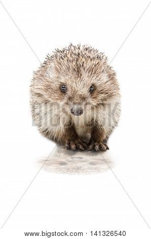 Pretty hedgehog with reflection isolated on white background