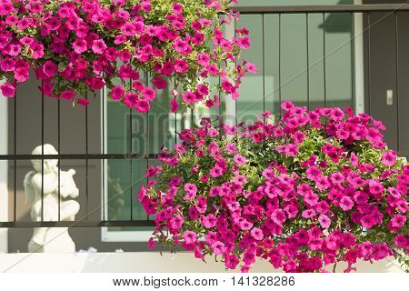 A beautiful flowers hanging on the steel fence in front of my house.