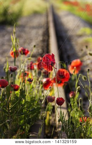Springtime.The force of nature: poppies on the tracks.(Apulia)-ITALY- Poppies waiting for the passage of the train.