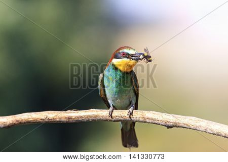 european bee eater with a bumblebee in its beak olorful feathers, a unique moment, a wild bird with sunny hotspot