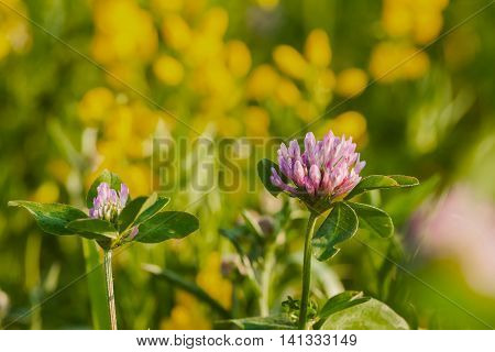 Clover flower on a natural background of wildflowers and green grass in the field