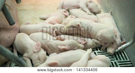 Pigs in pig sty on organic farm