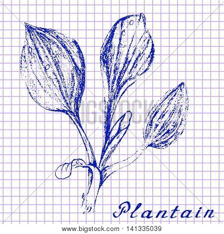 Plantain. Botanical drawing on exercise book background. Vector illustration. Medical herbs