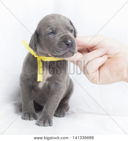Young Great Dane puppy that looks happy it is being scratched