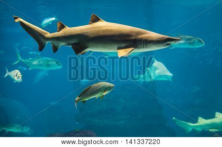 shark swimming in large sea water aquarium