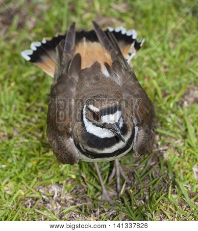 Wild bird that is puffing up its feather to scare things away from its nest