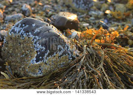 Seaweed called Bladderwrack (Fucus vesiculosus) closeup in Maine at dawn among rocks and barnacles