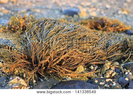 Seaweed called Bladderwrack (Fucus vesiculosus) closeup in Maine at dawn