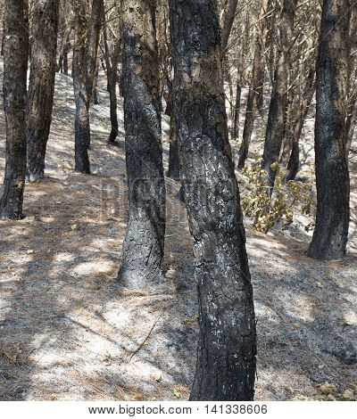 Post fire effect on a Pine forest on Vesuvius mountain