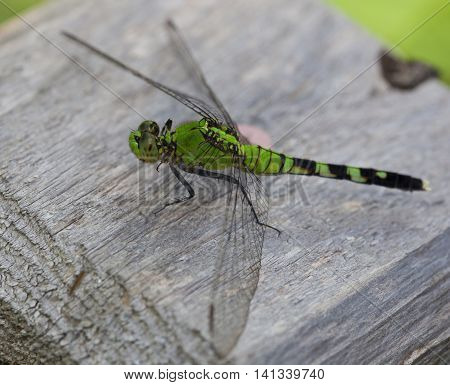 Large green dragonfly waiting for a bug to eat