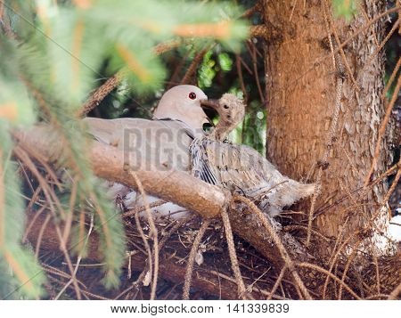 Eurasian collared dove (Streptopelia decaocto) bird animal