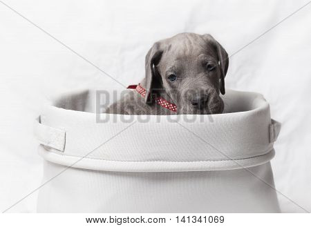 Great Dane puppy that is purebred in a white basket