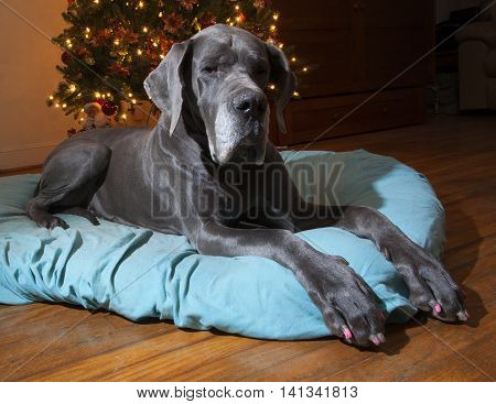 Blue Great Dane waiting for Santa next to a Christmas tree