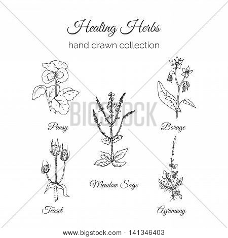 Holistic Medicine. Healing Herbs Illustration. Handdrawn Meadow Sage, Agrimony, Borage, Pansy and Teasel. Health and Nature collection. Vector Ayurvedic Herb. Herbal Natural Supplements. Organic plants.