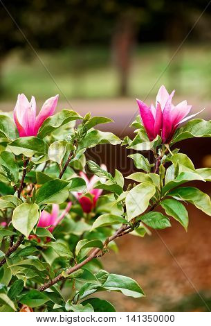 Magnolia tree blooming with flowers in the park of Cardiff in Wales of the United Kingdom. Cardiff is the capital of Wales.