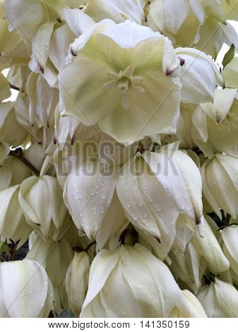 White blooming yucca palm with drops of water