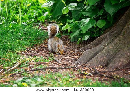 Squirrel In The Park In Cardiff In Wales