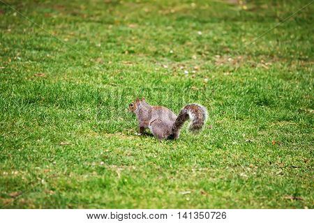 Squirrel In The Park Of Cardiff Of Wales