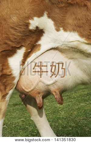 Extreme closeup of brown cow's udder with the chinese writing for milk