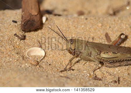Big brown grasshopper on sand near the sea