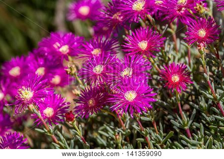 Lampranthus - magenta flowers with succulent leaves, hardy ice plant genus in the family Aizoaceae, flowering plants in parks of Israel