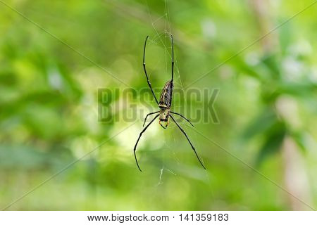 Huge Golden Silk Orb weaver spider hanging from its web with green blurred background (Nephila)