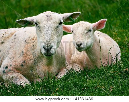 Sheep - Ewe and Lamb together in field lying down taking a rest from chewing the grass.Wales, UK.