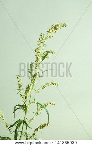 Wormwood plant over green background close up